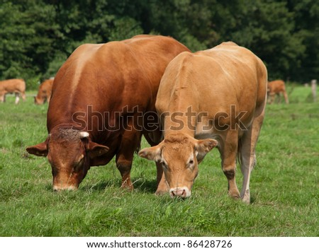 limousine bull with cow peaceful grazing together - stock photo