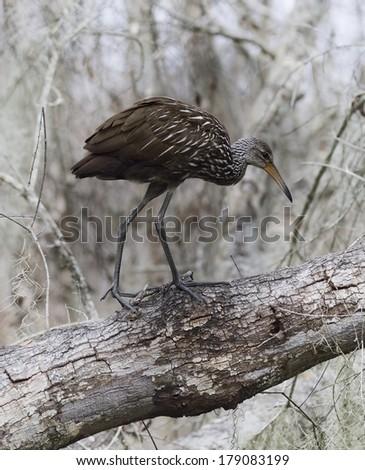 Limpkin Bird Walking On A Tree - stock photo