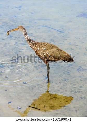 Limpkin hunting in a lake, commonly seen in Florida - stock photo