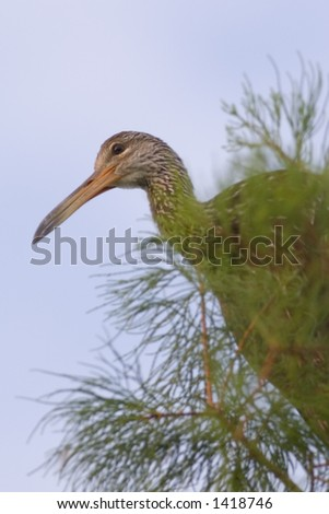 limpkin perches atop pine tree in south florida wetland - stock photo