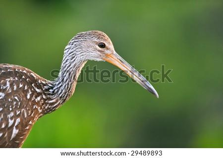 limpkin poses in morning at florida wetland - stock photo