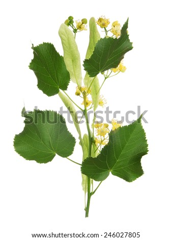 Linden blooming flowers isolated on white background - stock photo