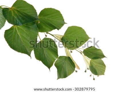Linden branch isolated on white - stock photo