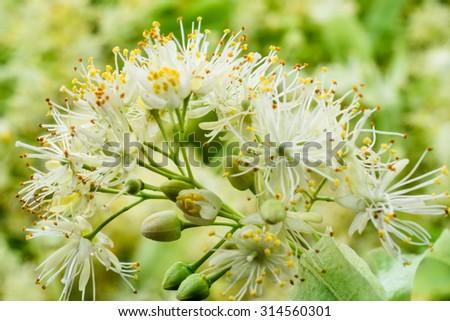 Linden flowers background. Soft focus. - stock photo