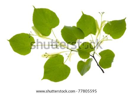 linden leaf - stock photo