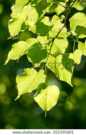 Linden, Small-leaved Lime (Tilia cordata) leaves - stock photo