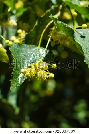 Linden tree in bloom spring time garden