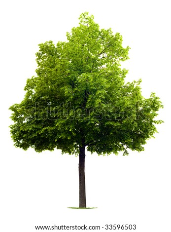 Linden Tree isolated on white - stock photo