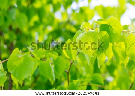 Linden tree leaves. Beautiful close up of fresh young green linden tree leaves. - stock photo