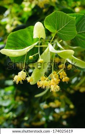 Linden Tree (lime tree) linden blossom - stock photo