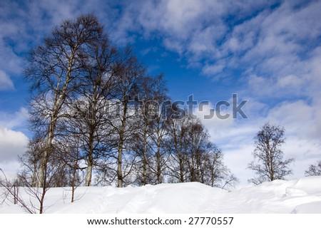 Line of birch - stock photo