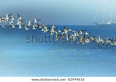 Line of Black Skimmers flock rising above sea bay. Latin name -  Rynchops niger.