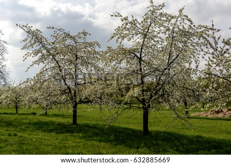 line of blossoming organic apple trees in a green field on a sunny spring day among meadows in Baden, Germany