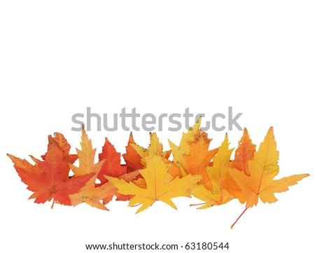 Line of bright yellow maple leaves