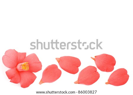 Line of red wild camellia flower and petals on a white background - stock photo