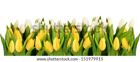 Line of white and yellow tulips - stock photo