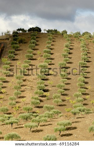 Line olive trees in a hill at Northern Portugal - stock photo