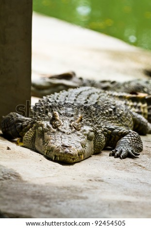 Line up dangerous Crocodile - stock photo