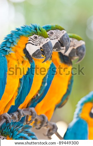 Line up yellow blue macaws - stock photo