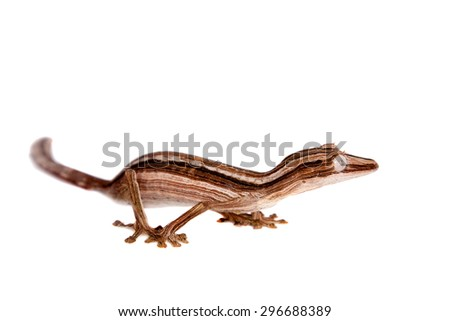 Lined Leaf-tail Gecko, Uroplatus lineatus isolated on white background. - stock photo