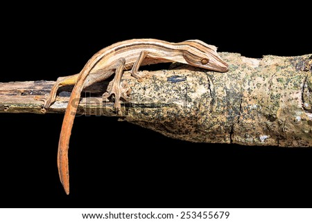 Lined Leaf-Tailed Gecko (Uroplatus lineatus) in Madagascar, isolated on a black background - stock photo