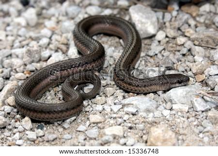 Lined Snake (Tropidoclonion lineatum) - stock photo