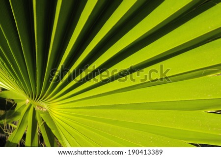 Lines and Textures of a Green Palm Leaf