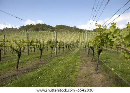 Lines of grape vines stretching into the distance - stock photo