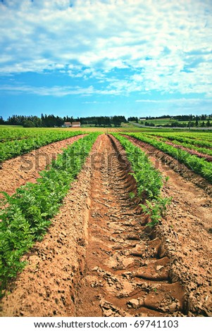 Lines of green vegetables in a farm field in PEI, CANADA - stock photo