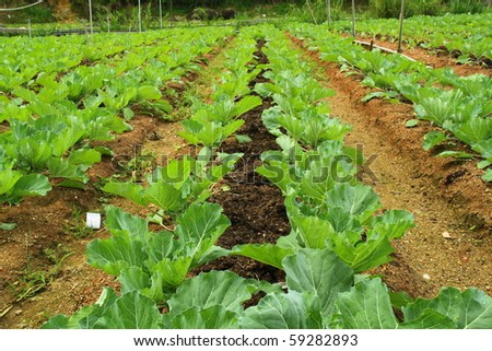 Lines of young lettuces in a farm field. - stock photo