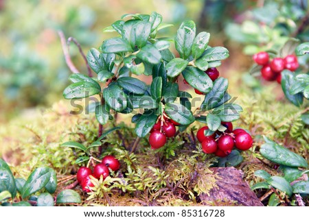 Lingon berries growing in the wild - stock photo