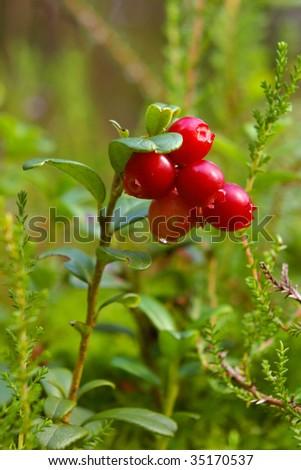 lingonberry shrub with berries (vaccinium vitis-idaea) - stock photo