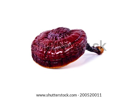 Lingzhi Mushroom Ganoderma Lucidum Isolated on white background / Medicinal Mushroom in Traditional Chinese Medicine and Herb.