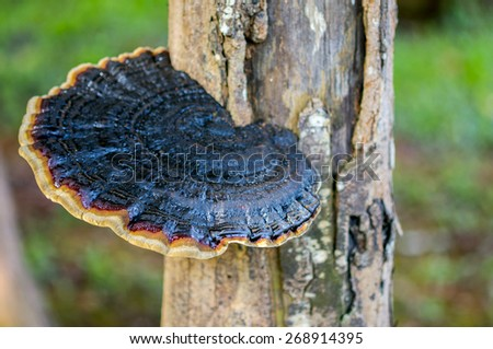 lingzhi mushroom ganoderma lucidum plant - stock photo