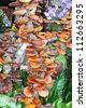 Lingzhi mushrooms. - stock photo