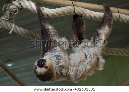 Linnaeus's two-toed sloth (Choloepus didactylus), also known as the southern two-toed sloth. Wild life animal.  - stock photo