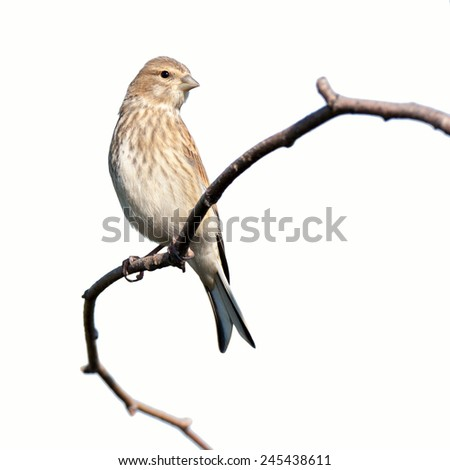 Linnet (Acanthis cannabina).Wild bird in front of white background, isolated. - stock photo