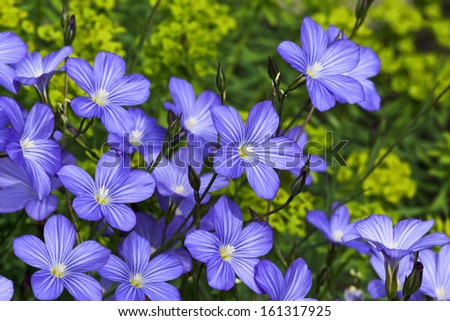 Linum blossoms, flax - stock photo