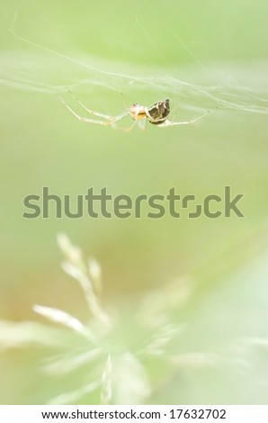 Linyphia triangularis or Money spider [shallow depth of field]