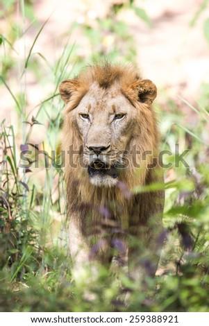 lion. - stock photo