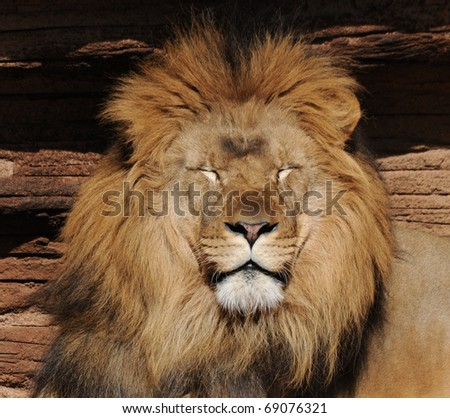 Lion - stock photo