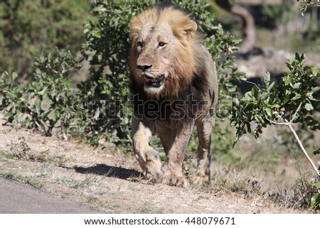 Lion about to cross a road - stock photo