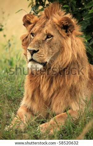 Lion Africa - stock photo