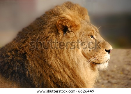 Lion-amazing profile