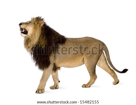 Lion (4 and a half years) - Panthera leo in front of a white background - stock photo