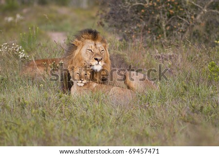 Lion and cub - stock photo