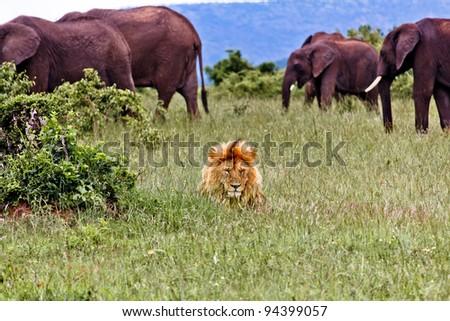Lion and Elephants - stock photo