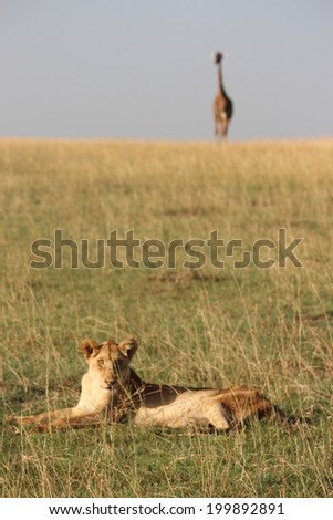 Lion and Giraffe in Kenya - stock photo