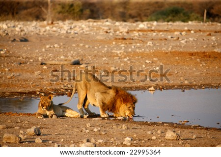 Lion and his lioness at the edge of the lake, Namibia, Africa - stock photo