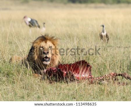 Lion and Kill - stock photo
